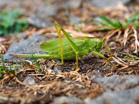 Eine Zwitscherschrecke. Dieses Tier ist durch die lange Legeröhre leicht als Weibchen erkennbar