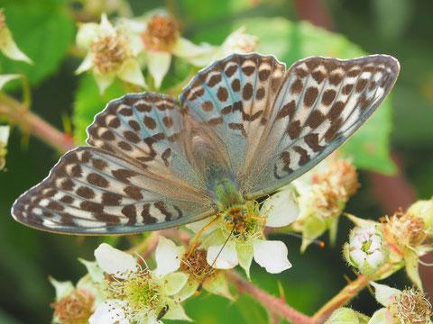 Vom Kaisermantel findet man auch eine dunkle Form. Bei frischen Exemplaren schillern die Flügeloberseiten blau.