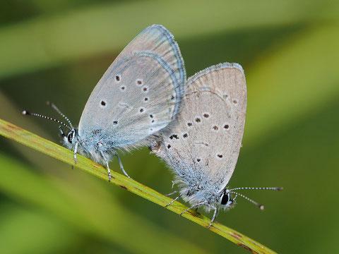Zwei der kleinen Zwergbläulinge bei der Paarung.