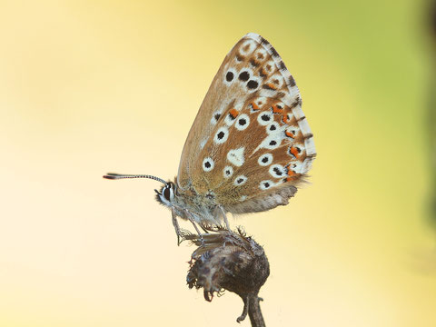 Beim Silbergrünen Bläuling kann man die Weibchen nicht vom Himmelblauen unterscheiden. Fliegen beide zusammen ist der Beobachter chancenlos - die Falter offensichtlich nicht.