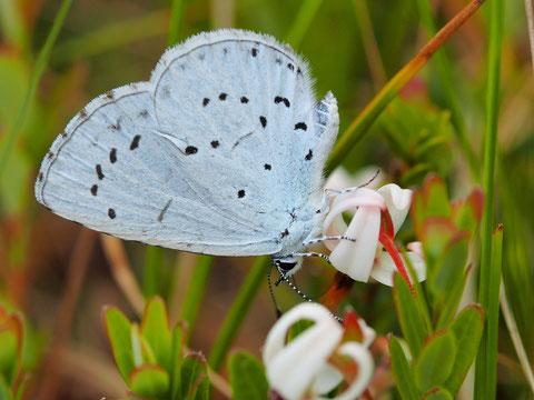 Der Faulbaumbläuling erkennt man leicht durch seine blasse, blaugraue Färbung im Flug.