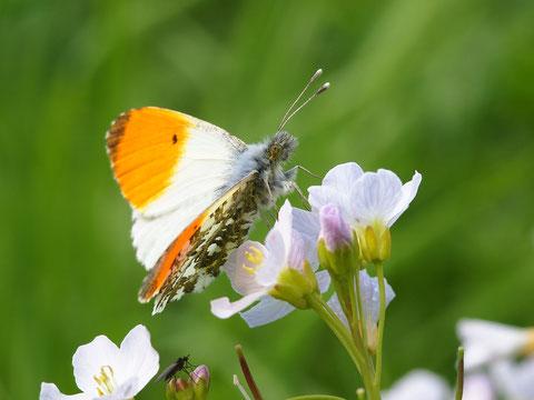 """Wegen dieser Flügelspitzen heisst der Aurorafalter im Englischen sehr treffend """"Orange Tip""""."""