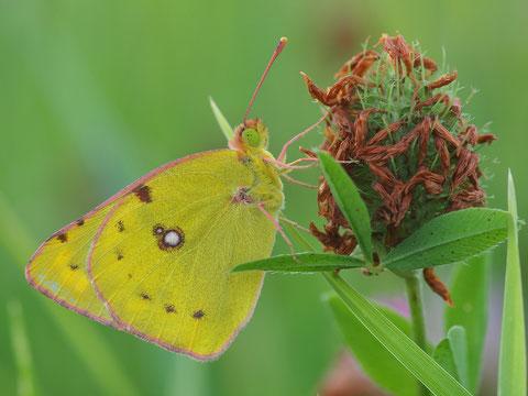 Diese Gelblinge findet man auf Blumenwiesen recht häufig.
