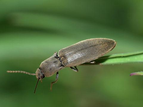 Schnellkäfer. Legt man diese Tiere auf den Rücken schnellen sie sich in die Höhe und landen auf den Beinen.