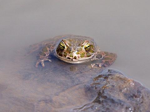 Wechselkröten sind die schönsten Kröten Deutschlands. Sie kommen meist in unerwarteten Gebieten vor - hier ein Regenwasserteich auf einer Bergehalde im Saarland.