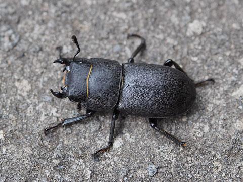 Der Balkenschröter ist ein kräfiger, großer Käfer