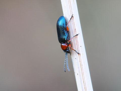 Ein rothalsiges Getreidehähnchen. Diese kleinen Käfer machen sich in der Landwirtschaft entsprechend ihres Namens weniger Freunde. Dieses hier erschien statt im April schon im Februar aus dem Winterquartier.