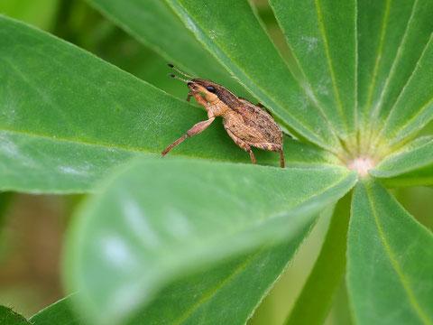 Lupinenblattrandkäfer, noch ein Rüsselkäfer. Er sitzt wenigstens dort wo er hingehört.