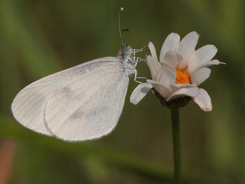 Tintenfleckweisslinge sind keine einzelne Art sondern ein Artenkomplex der nur genetisch unterschieden werden kann.