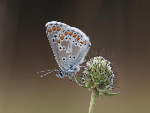 Ein Himmelblauer Bläuling. Der Name rührt von der schier unglaublichen Farbe der Flügeloberseite der Männchen her.