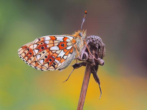 Bei dem besagten braunen Fleck handelt es sich übrigens um den kleinen, dunklen Ringel nahe der Flügelwurzel des Hinterflügels.