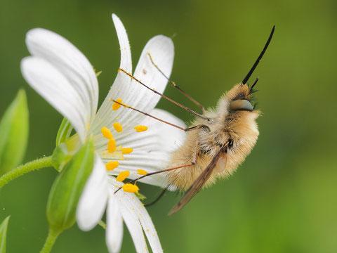 Der Rüssel dient lediglich zum Saugen von Nektar aus Blüten. Die Spitze des Rüssels sieht zwar starr aus, sie ist aber doch beweglich.