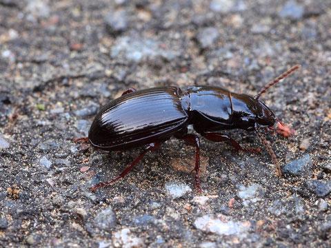 Laufkäfer (Harpalus), ein räuberisch lebender Käfer.