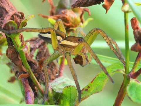 Der grünliche Schimmer an den Beinen zeigt dass es sich um ein Jungtier handelt.