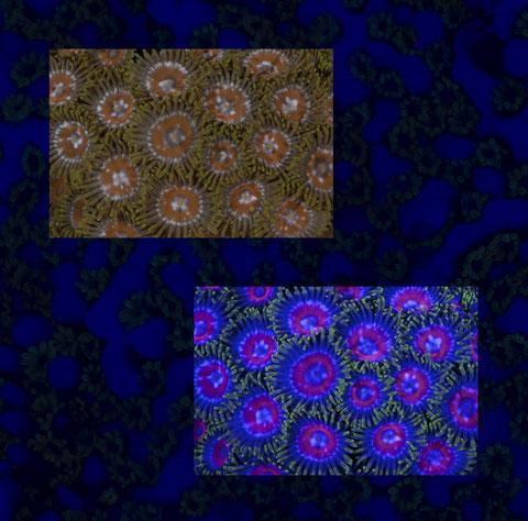 Paar 08 (Krustenanemonen, Zoanthus)