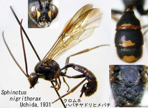Sphinctus nigrithorax Uchida, 1931 クロムネハバチヤドリヒメバチ