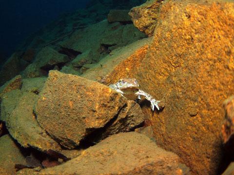 Erdkröte (bufo bufo) auf 15m