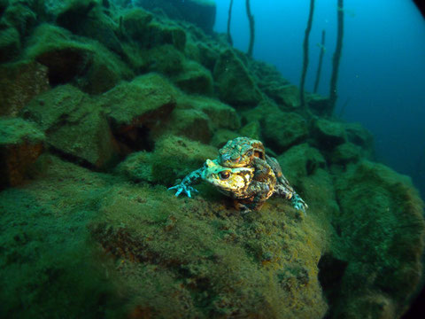 Erdkröte (bufo bufo) auf 16m