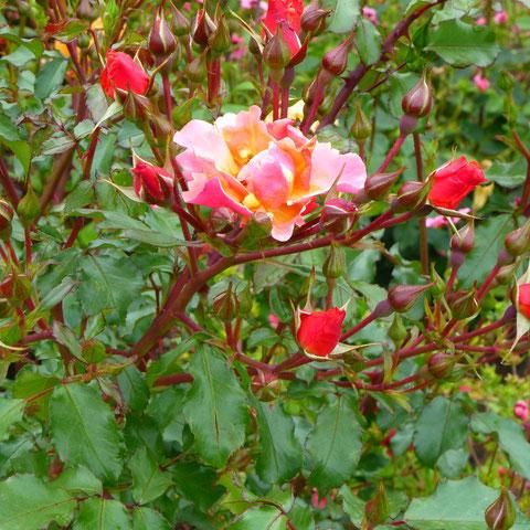 """Rose """"Jazz"""""""