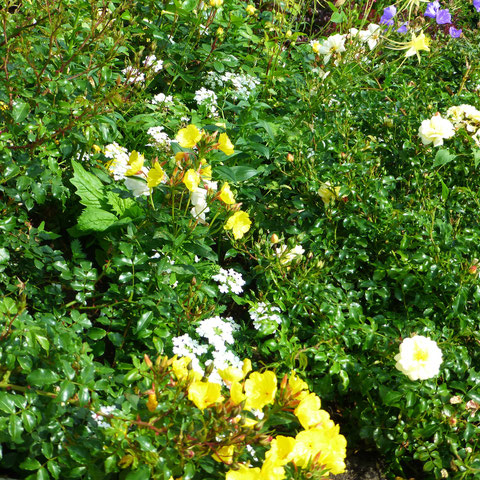 """Rose """"Charles Darwin und Glockenblume, Nachtkerze"""