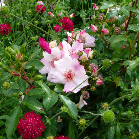 "Rose ""Sweet Pretty"" und Purpur-Knautie"