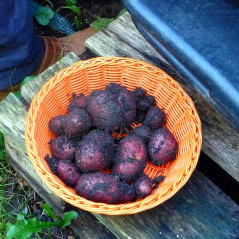 Violette Kartoffelernte