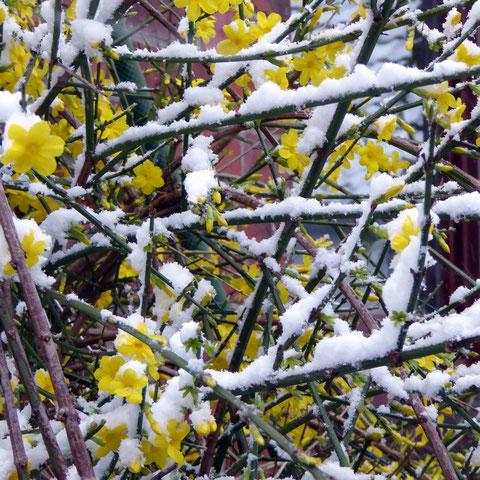 Blühender Winterjasmin