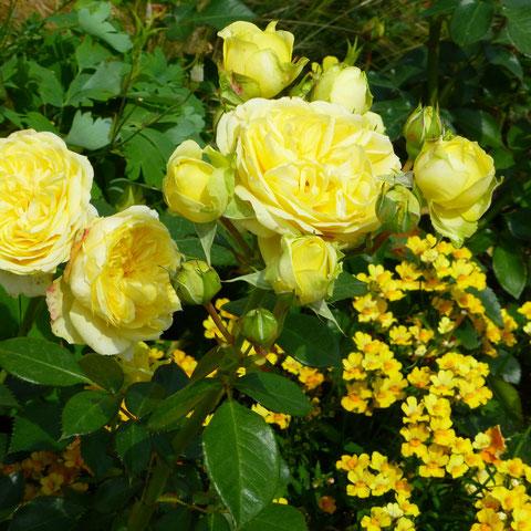 "Rose ""Sunlight Romantica"", Nemesien"