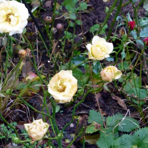 Sogar die Rosen machen keine Pause - bei diesem warmen Wetter!