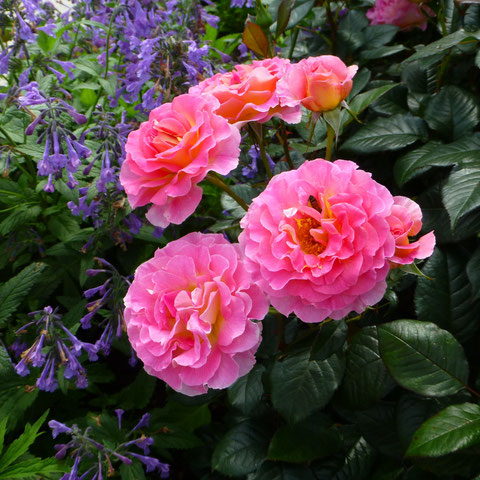 "Rose ""Pink Paradise"" mit Katzenminze"