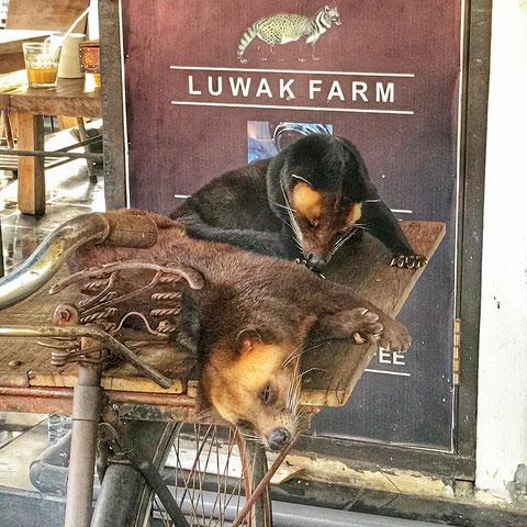 Fleckenmusangs als Werbung für den Kaffee Kopi Luwak
