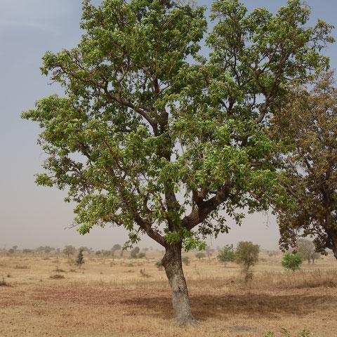 das Öl dieser Bäume wird zum Essen verwendet aber auch für die Körperpflege