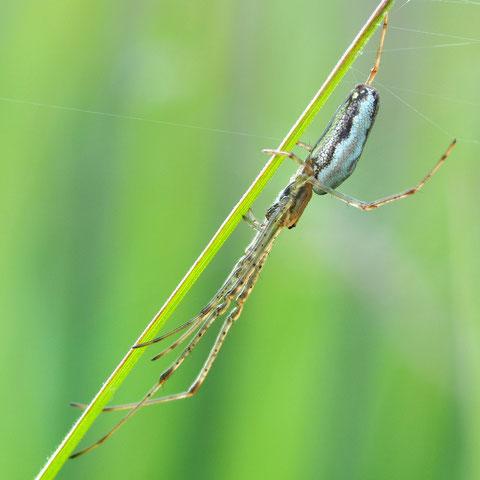 Streckerspinnen tarnen sich durch Anschmiegen an einen Halm.