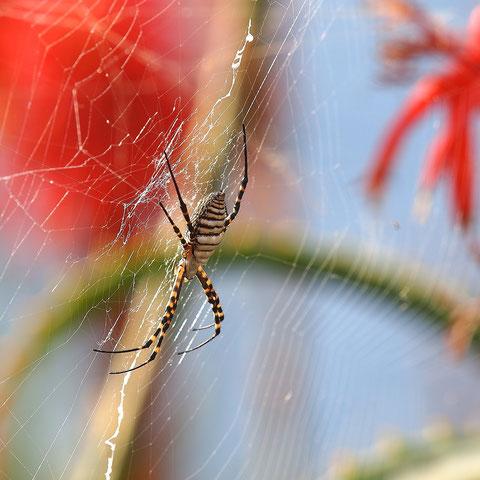 Die afrikanische Version der Wespenspinne.