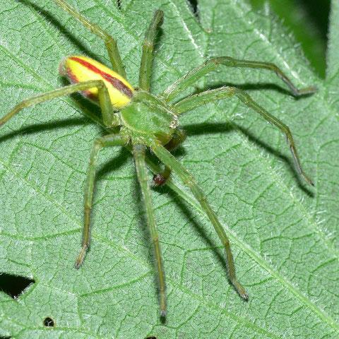 Die Männchen der grünen Huschspinne zeigen eine auffällige Zeichnung auf dem Hinterleib.