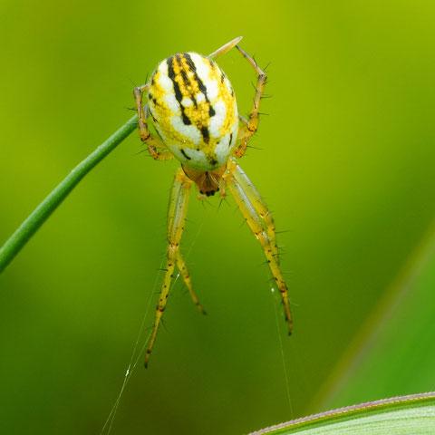 Eine Streifenradnetzspinne. Diese recht kleine Spinne gehört zu der gleichen familie wie die bekannte Kreuzspinne.