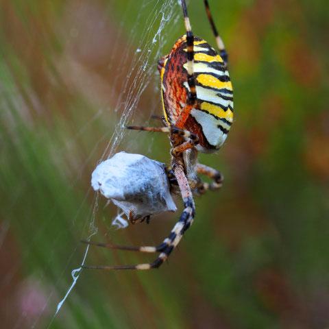 Wespenspinnen sind Einwanderer aus dem Mittelmeerraum. Sie gehören zu den Radnetzspinnen und ernähren sich hauptsächlich von Grashüpfern.