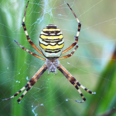 Eine Wespenspinne. Diese grossen Tiere sind durchweg Weibchen, die Männchen sind wesendlich kleiner und unauffälliger. Die Netze der Wespenspinnen sind leicht an dem Gewebestreifen in den maschen zu erkennen, dem Stabiment.