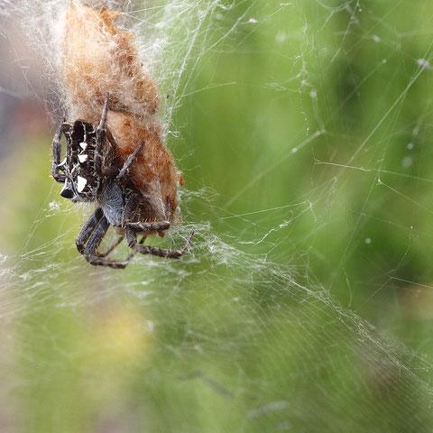 Dies ist ein südlicher Vertreter: Eine Opuntienspinne. Diese Tiere leben in Kolonien, hunderte von mittelgrossen Spinnen bauen ein riesiges gemeinsames Netz über meist einen Busch. Ein etwas gewöhnungsbedürftiger Anblick....