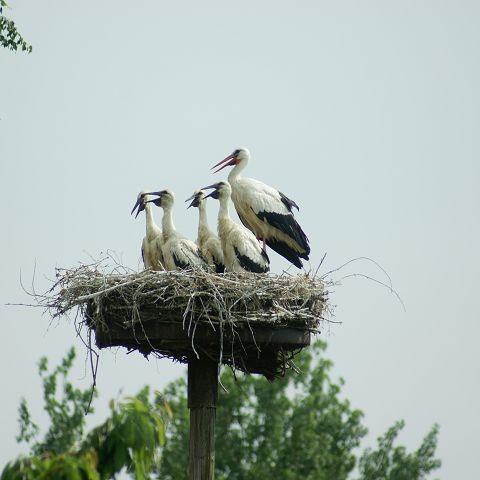 Nest 6 Altvogel mit denn 4 Jungen