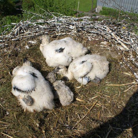 Blick in Nest 9 das 4 Junge ist zu klein kommt beim fressen nicht gegen seine 4 mal so großen geschwister an.