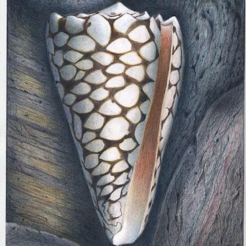 Muschel mit Steinen 30x21 Buntstift 6. 2010