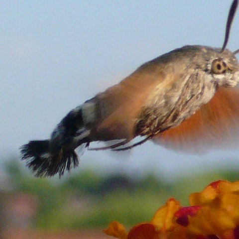 Taubenschwänzchen an Wandelröschen