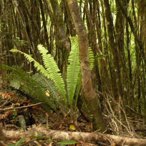 Regenwald bei Franz Josef