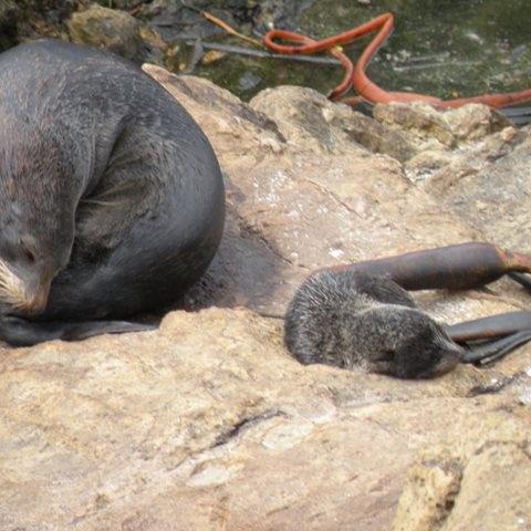 Robben auf Otega Peninsula
