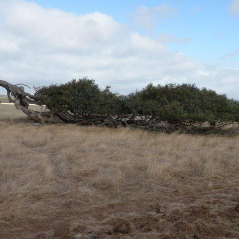 liegende Bäume südlich von Geraldton