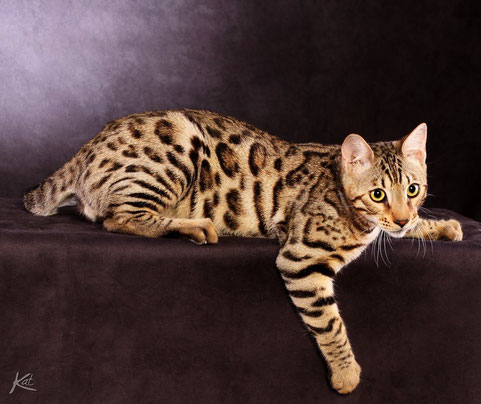 BENGAL BROWN SPOTTED TABBY