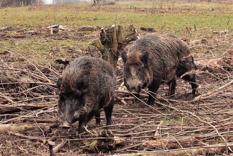 Wildschweine im Wildgehege bei Grünwettersbach (G. Franke, 09.02.17)