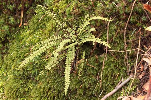 Braunstieliger Streifenfarn (Asplenium trichomanes) an einer Waldwegböschung am Edelberg, unterhalb von Grünwettersbach (G. Franke, 09.02.17)