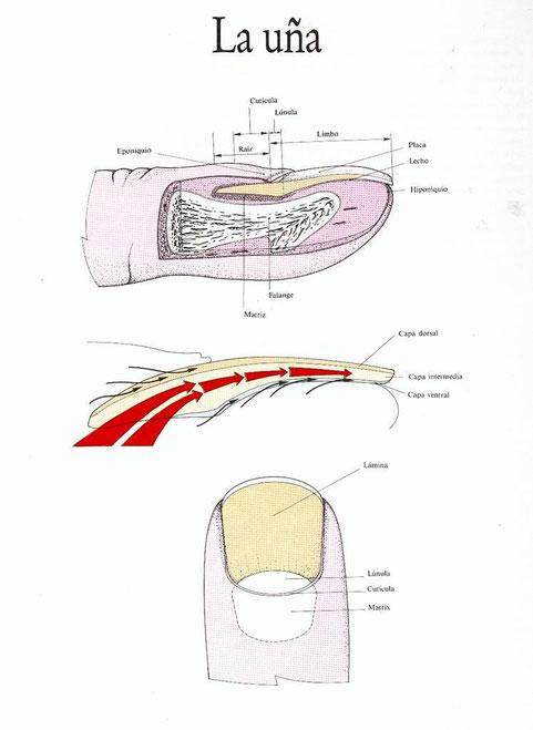 Cirugía Ungueal. Estructura del Conplejo Ungueal - Página web de ...